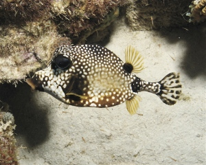 A Bonaire Trunkfish