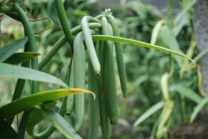 The vanilla bean, a major Tahitian export©Jean Janssen