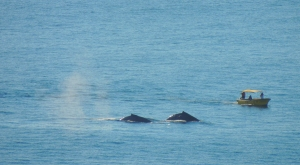 Bob got this great picture of the whales from our terrace at the Villa Gran Vista in Pedregal, Cabo San Lucas, Mexico ©Robert Kochman