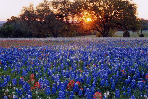 bluebonnet_field_at_dusk__credit_larry_urqhart__med04
