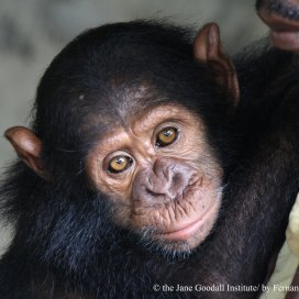 A new orphan at one of the Jane Goodall Institute's rehabilitation centers.