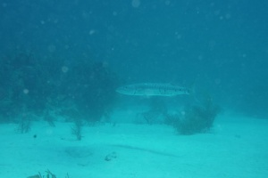 One of the barracuda spotted on our dive trip. ©Bill Fuqua