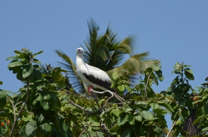 Red-footed booby, Half Moon Cay, Belize. ©Jean Janssen
