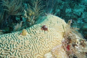Christmas tree worms on the coral. ©Bill Fuqua