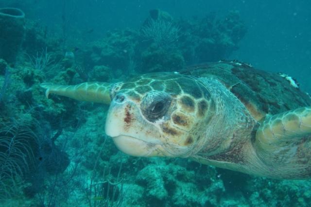 Belize Turtle. ©Bill Fuqua