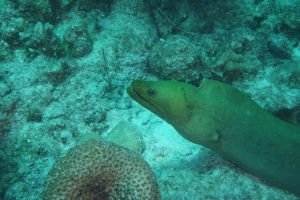 A green moray eel on the move. ©Bill Fuqua