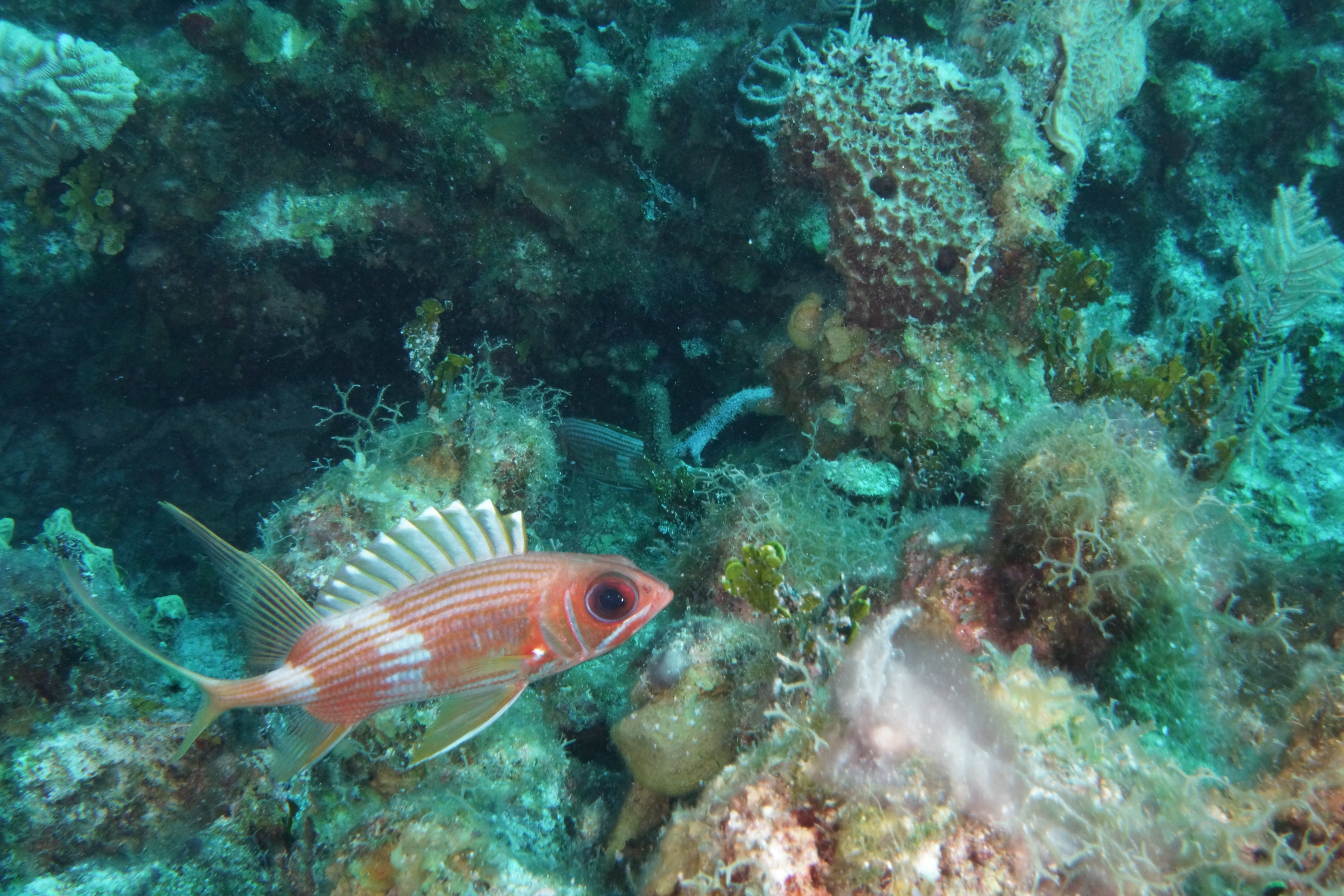 Rocky reaches 100 dives and the elbow at turneffe atoll for Big eye squirrel fish