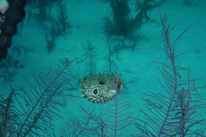Bill stopped a different variety of pufferfish from the ballonfish I spotted.  His is a more rare variety. ©Bill Fuqua