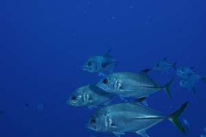 We swam very close to a small school of horse-eyed jacks at The Elbow at the Turneffe Atoll, Belize. ©Bill Fuqua.