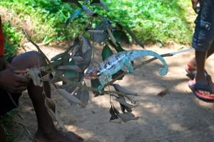 chameleon at the reserve Madagascar ©Jean Janssen