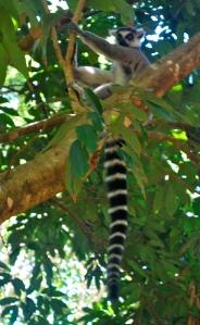 A ringtail lemur Madagascar ©Jean Janssen