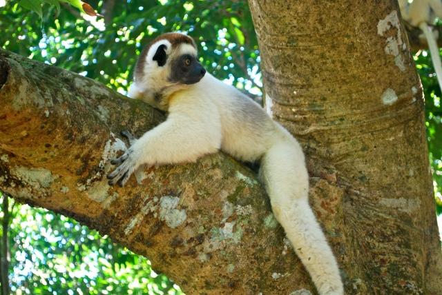 A sifakas (dancing lemur) Madagascar ©Jean Janssen