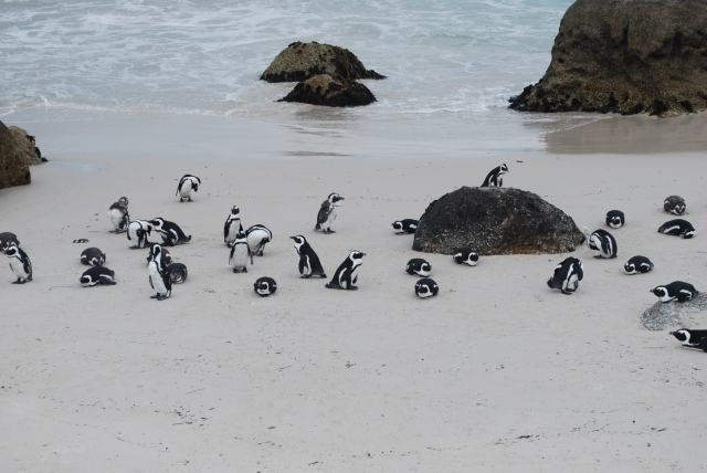 African Penguins, South Africa ©Jean Janssen