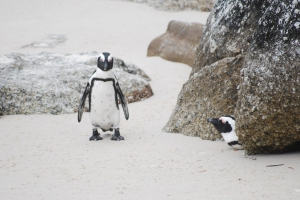 African penguins on the beach near Cape Town, South Africa. ©Jean Janssen