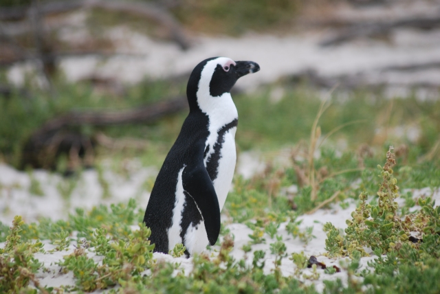 African penguin near the Cape of Good Hope, South Africa ©Jean Janssen