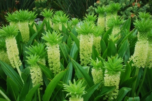 I loved these pineapple flowers that we saw at the Kirstenbosch Gardens in Cape Town, South Africa. ©Jean Janssen