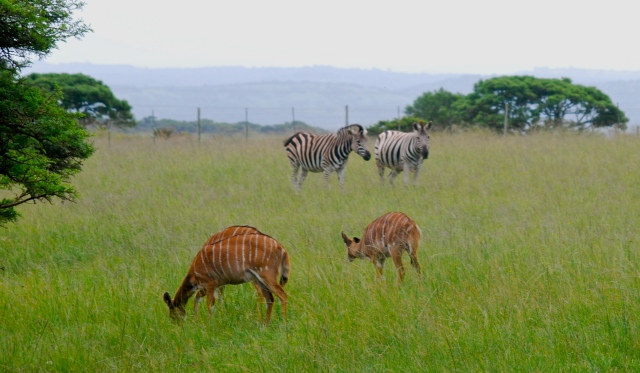 Zebra and Nyala near the edge of the Inkwenkwezi Game Reserve, South Africa. ©Jean Janssen