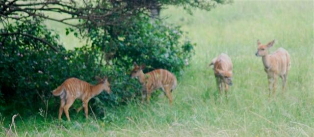 Nyala, Inkwenkwezi Game Reserve, South Africa. ©Jean Janssen