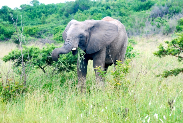 Enjoying the grasses, Inkwenkwezi Game Reserve, South Africa. ©Jean Janssen