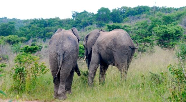 African elephants, Inkwenkwezi Game Reserve, South Africa. ©Jean Janssen