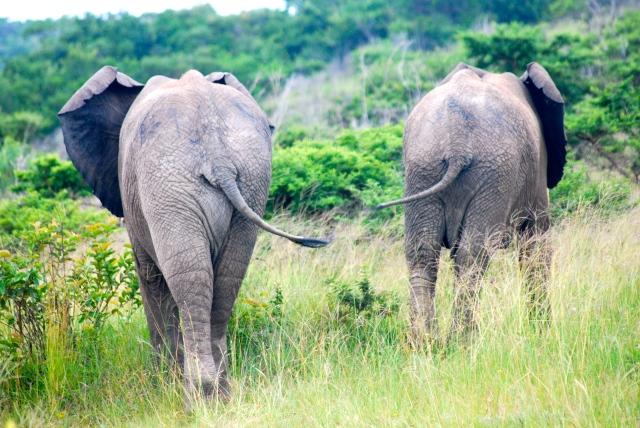 African elephants, Inkwenkwezi Game Reserve, South Africa.  I think this is my favorite photo of them.  Note the tails. ©Jean Janssen