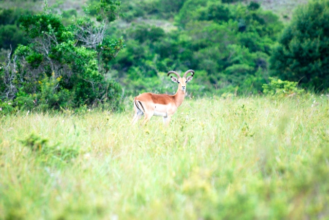 Got this great shot of an impala before the battery went out.  Inkwenkwezi Game Reserve, South Africa. ©Jean Janssen