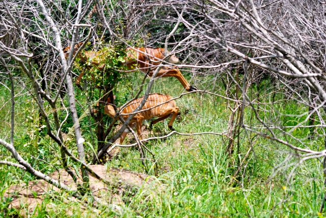 Leaping Nyala in the brush at Hluhluwe-Umfolozi Game Reserve, South Africa. ©Jean Janssen