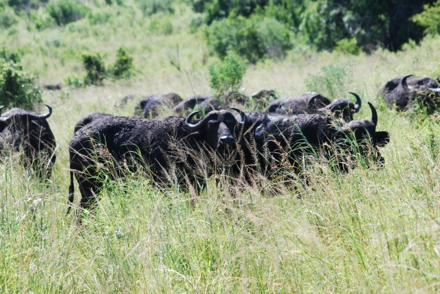 Herd of water (or cape) buffalo leading the watering hole in Hluhluwe-Umfolozi Game Reserve, South Africa. ©Jean Janssen