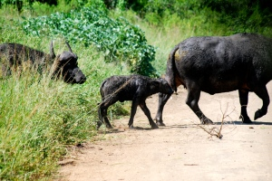 A buffalo calf crosses the road following mom. Hluhluwe-Umfolozi Game Reserve, South Africa. ©Jean Janssen