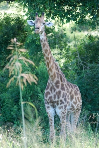 Standing guard.  Hluhluwe-Umfolozi Game Reserve, South Africa. ©Jean Janssen