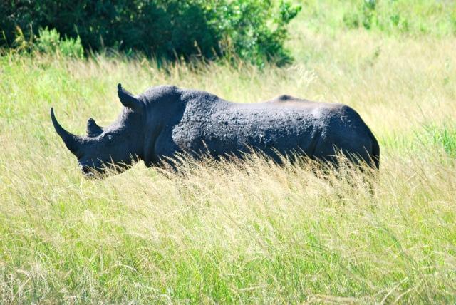 African White Rhino, Hluhluwe-Umfolozi Game Reserve, South Africa ©Jean Janssen