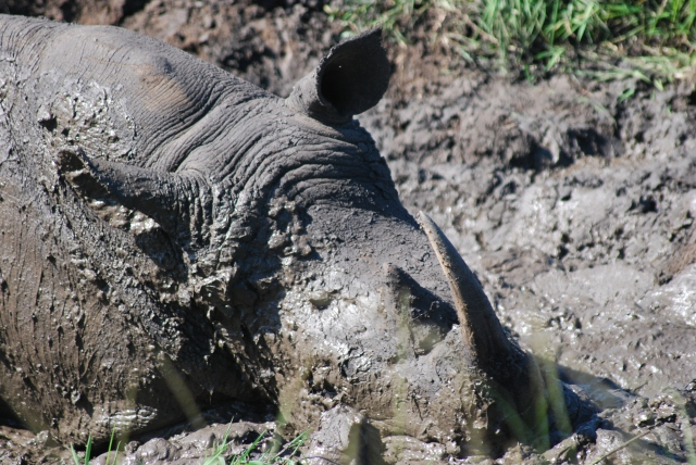 Hluhluwe-Umfolozi Game Reserve, South Africa  Rolling in the mud helps the rhino cool.  After the mud dries and falls off, it takes with it any fleas or ticks that have gotten on the rhino. ©Jean Janssen