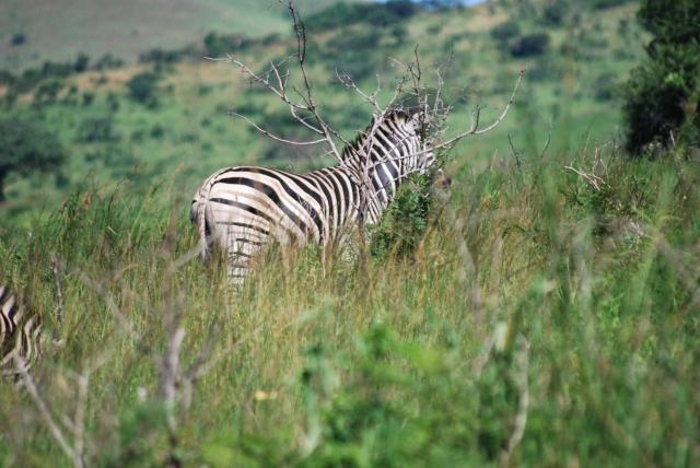 Hluhluwe-Umfolozi Game Reserve, South Africa ©Jean Janssen