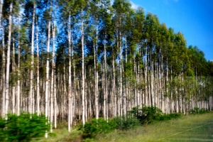 Eucalyptus tree forests for paper mills, Richard's Bay, South Africa. ©Jean Janssen