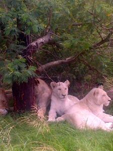 Female White Lions, Inkwenkwezi Private Game Reserve, South Africa. ©Jean Janssen