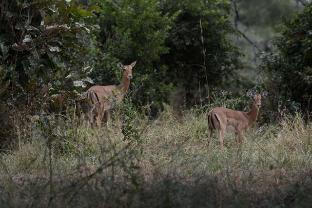 ©Jean Janssen Impala are plentiful in Tanzania. The guides jokingly refer to them as fast food for their speed and the McDonald's M on their rear side.