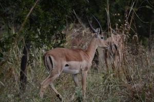 ©Jean Janssen Impala in Ruaha National Park, Tanzania