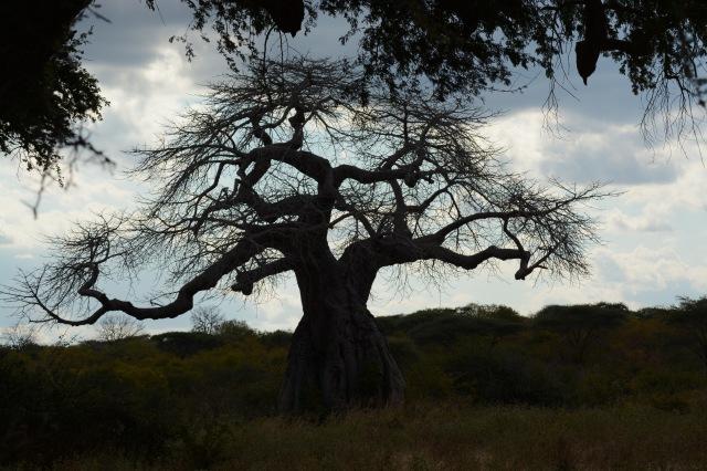 ©Jean Janssen The baobab tree, aka The Tree of Life, Ruaha National Park, Tanzania