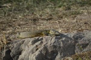 ©Jean Janssen Lizard, Ruaha National Park, Tanzania
