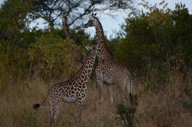©Jean Janssen Giraffes, Ruaha National Park, Tanzania