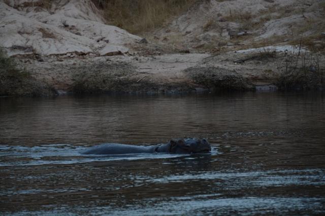 ©Jean Janssen Hippo enjoying the water after the rainy season.   Ruaha National Park, Tanzania