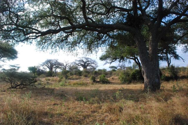 """©Jean Janssen """"Tree of Life"""" Ruaha National Park, Tanzania"""