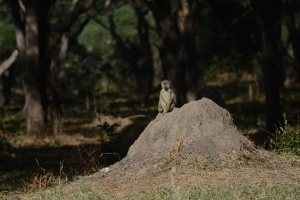 ©Jean Janssen A baboon sits on a termite mound in Ruaha National Park, Tanzania.