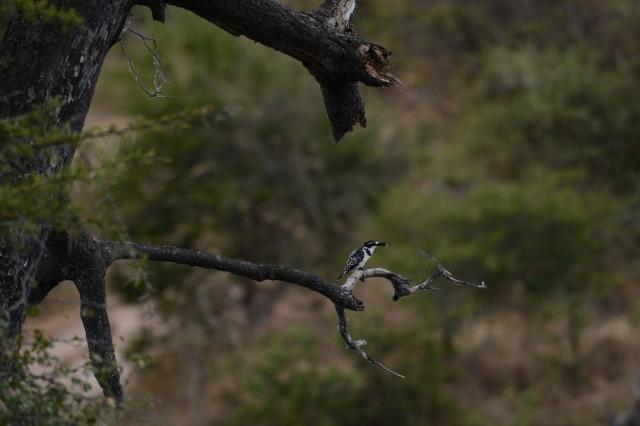 ©Jean Janssen Kingfisher at the Ruaha River, Tanzania