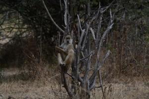 ©Jean Janssen Baboon in a tree, Ruaha National Park, Tanzania