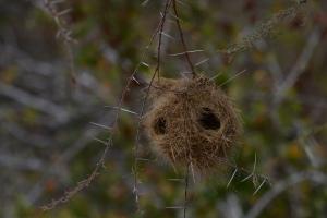 ©Jean Janssen Weaver nests in Ruaha National Park, Tanzania