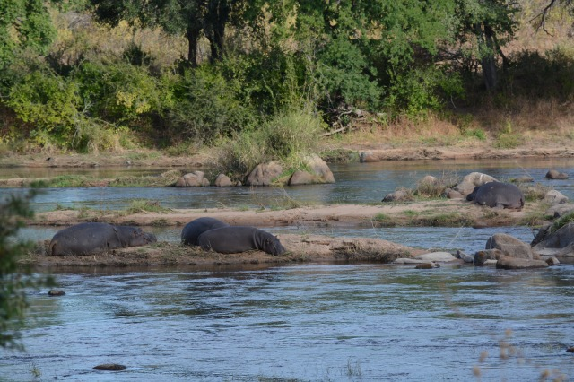©Jean Janssen Hippos on small islands in the Ruaha River, Tanzania