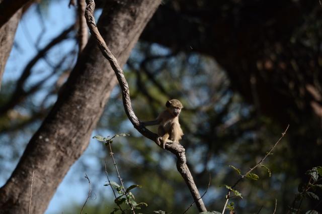 ©Jean Janssen Verver monkeys in Ruaha National Park, Tanzania