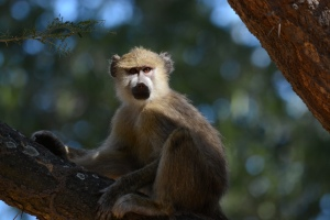 ©Jean Janssen Vervet Monkey in Ruaha National Park, Tanzania