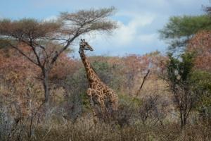 ©Jean Janssen Ruaha National Park, Tanzania